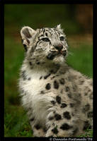 Baby Snow Leopard: Wonder III by TVD-Photography