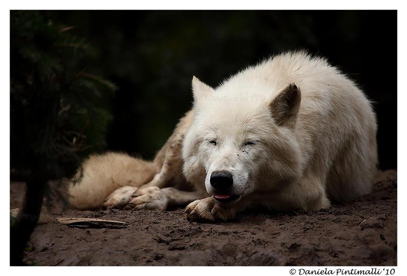 Happy Arctic Wolf