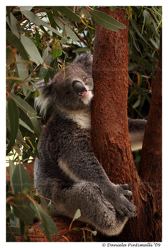 Smiling Koala II by TVD-Photography
