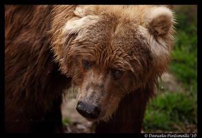 Kodiak Bear Portrait by TVD-Photography