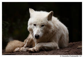 Arctic Wolf Portrait by TVD-Photography
