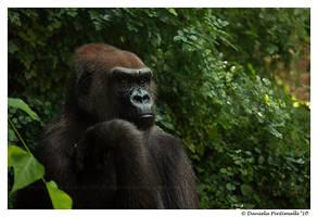 Gorilla Portrait II by TVD-Photography