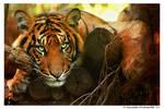 Tiger: Model
