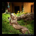 Cheetah Lunch