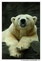 Polar Bear Raspberry by TVD-Photography
