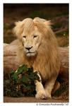 Lion: Bad Hair Day