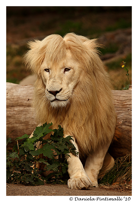 Lion: Bad Hair Day by TVD-Photography