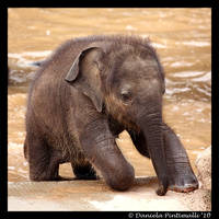 Clumsy Baby Elephant III by TVD-Photography