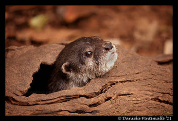 Otter: Peek-a-boo