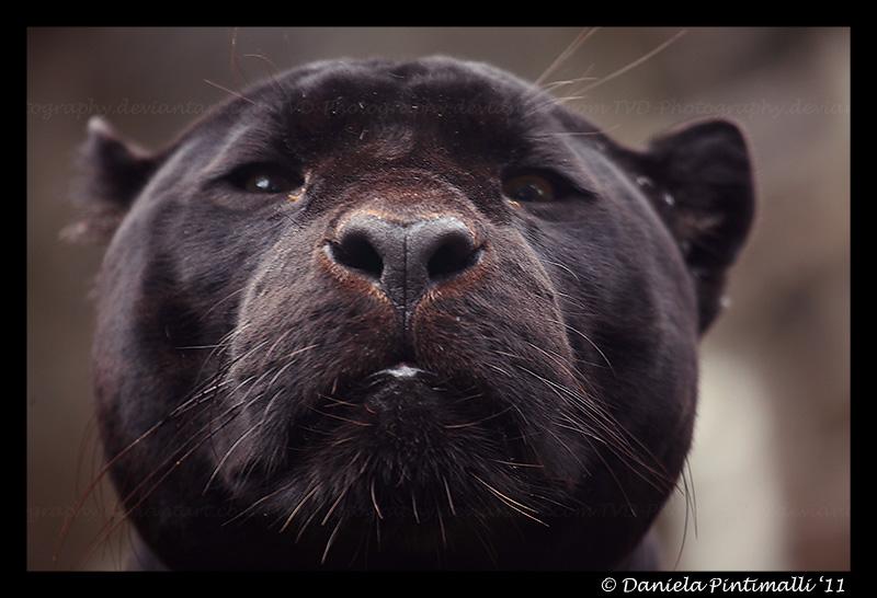 Mowgli's Closeup by TVD-Photography