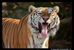 Tiger: Stinky Face