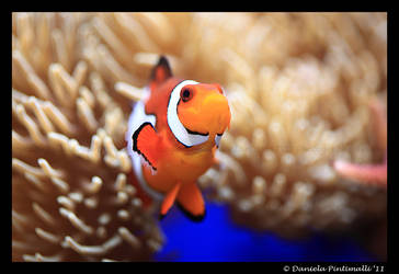 Clown Fish by TVD-Photography