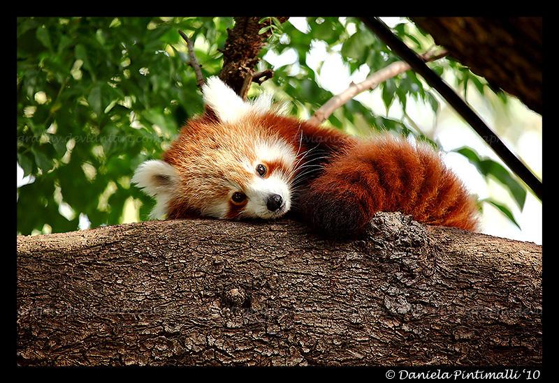Red Panda III