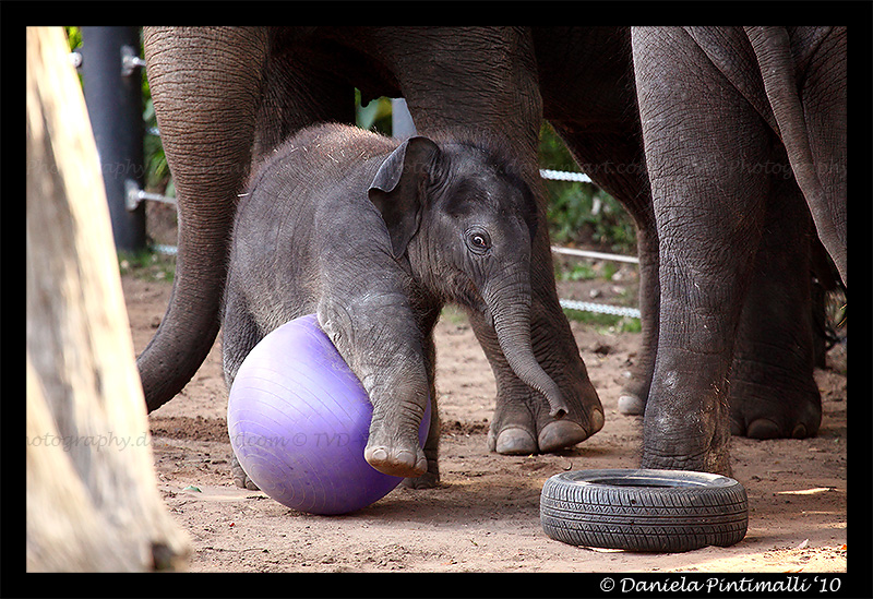 Clumsy Baby Elephant V by TVD-Photography