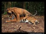 Tiger head noms