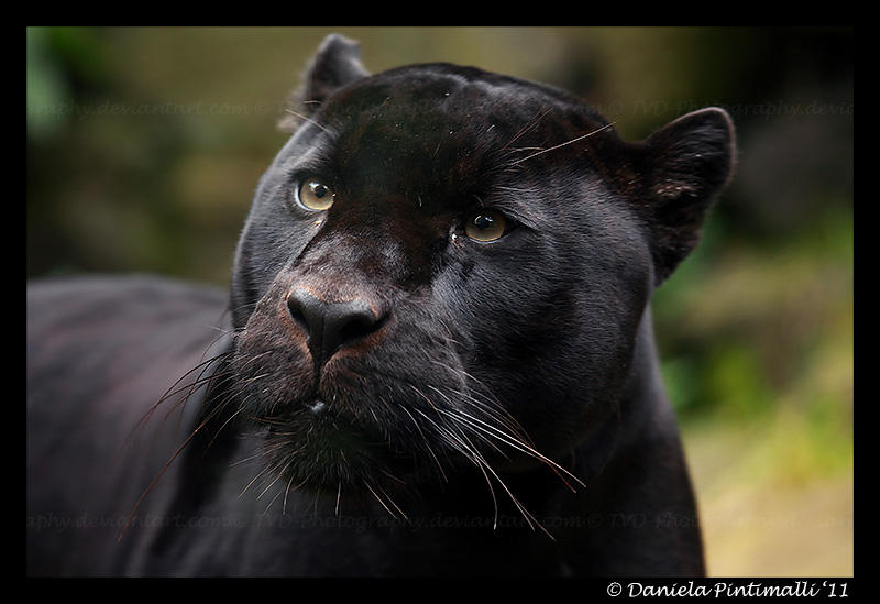 Mowgli Closeup II