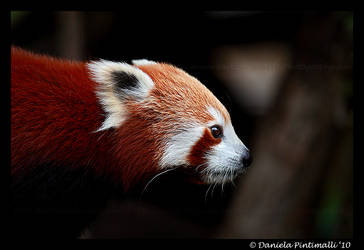 Red Panda Profile by TVD-Photography