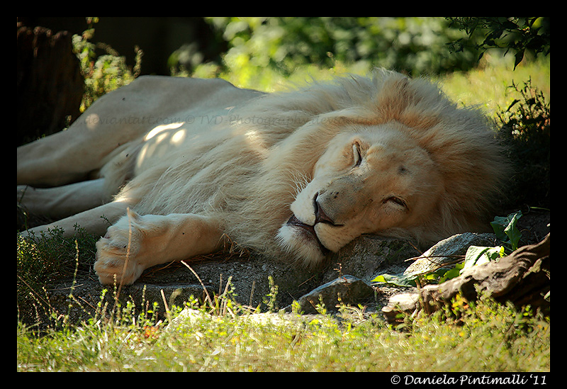 White Lion Nap by TVD-Photography