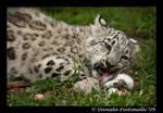 Baby Snow Leopard: Eat Meat II
