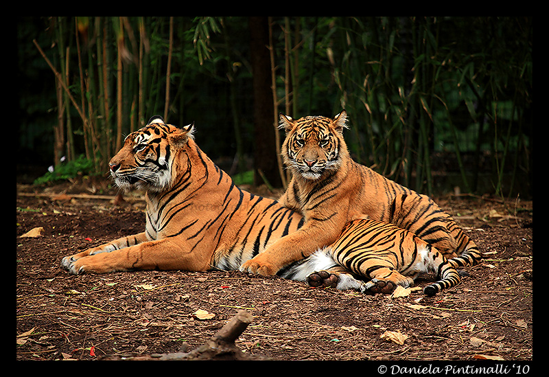 Tigers: Hug Time by TVD-Photography