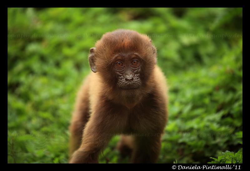 Baby Gelada II by TVD-Photography