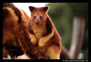 Baby Tree Kangaroo by TVD-Photography