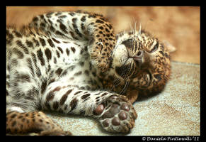 Baby Leopard II by TVD-Photography