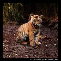 Baby Tiger Portrait IV