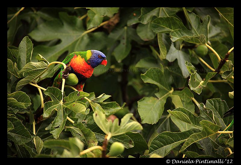 Rainbow Lorikeet II by TVD-Photography