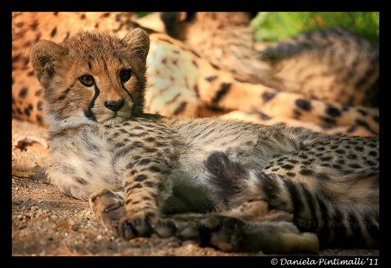 Baby Cheetah II by TVD-Photography