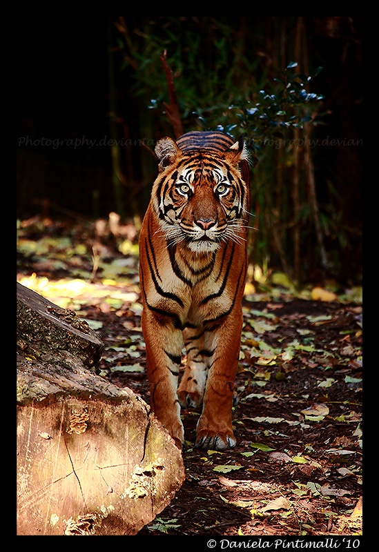 Tiger by TVD-Photography
