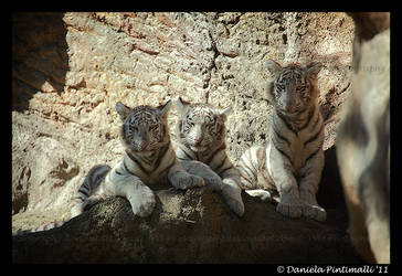 Three Baby Tigers II by TVD-Photography