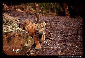Baby Tiger Approaching by TVD-Photography