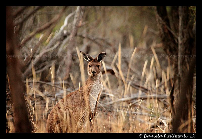 Wild Roo II by TVD-Photography