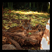 Baby Tiger Portrait VI by TVD-Photography
