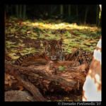 Baby Tiger Portrait VI