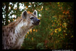 Hyena III by TVD-Photography