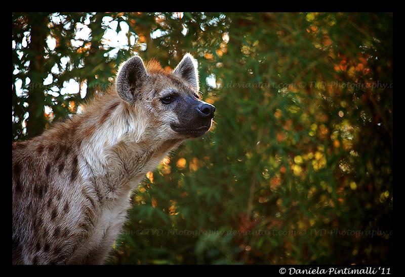 Hyena III by TVD-Photography