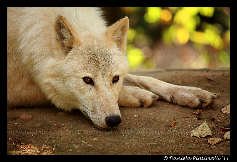 Arctic Wolf: Contemplative II by TVD-Photography