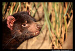 Tasmanian Devil II by TVD-Photography