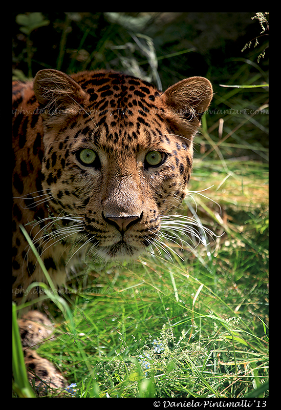 Leopard Portrait by TVD-Photography