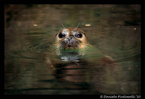 Harbour Seal III by TVD-Photography