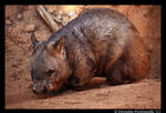 Wombat by TVD-Photography