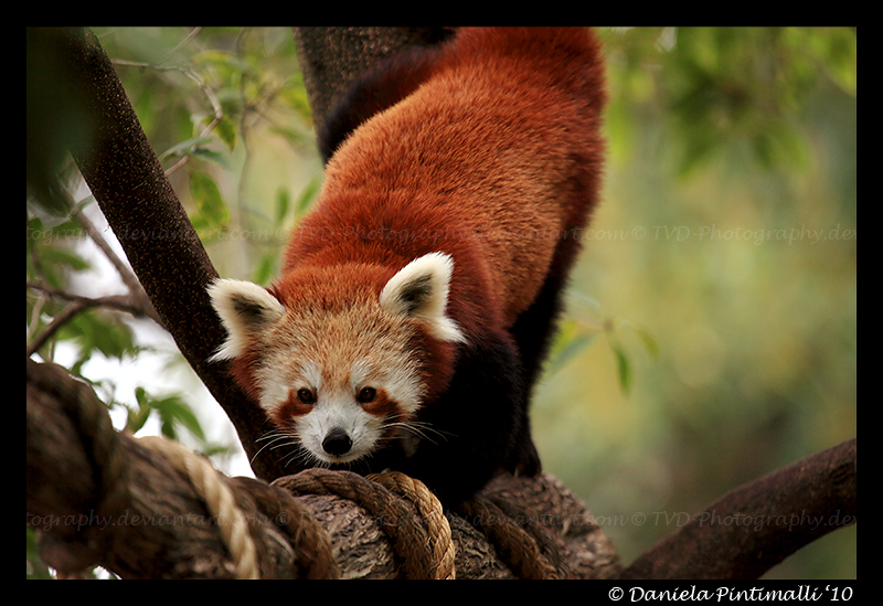 Red Panda VII by TVD-Photography