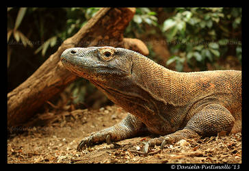 Komodo Dragon by TVD-Photography