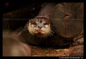 Otter Portrait V