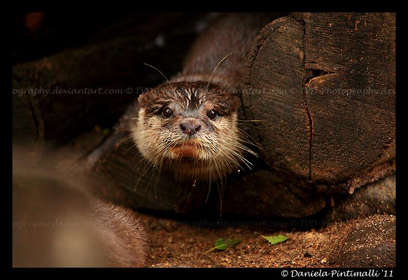 Otter Portrait V by TVD-Photography