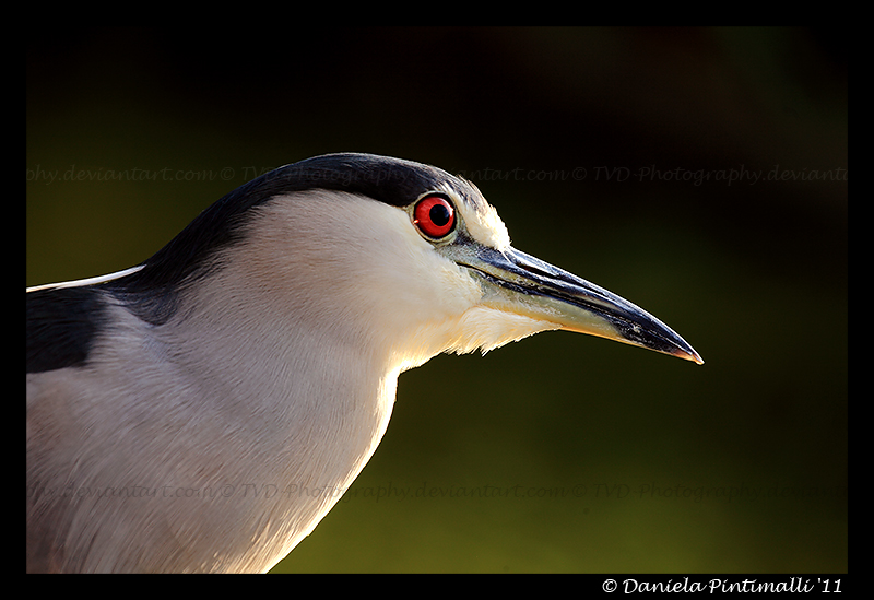 Night Heron by TVD-Photography