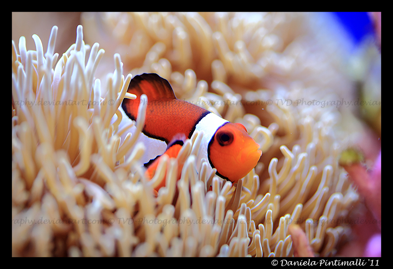 Clown fish iii by tvd photography on deviantart for Buy clown fish