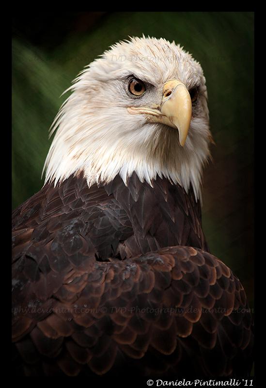 Bald Eagle II by TVD-Photography
